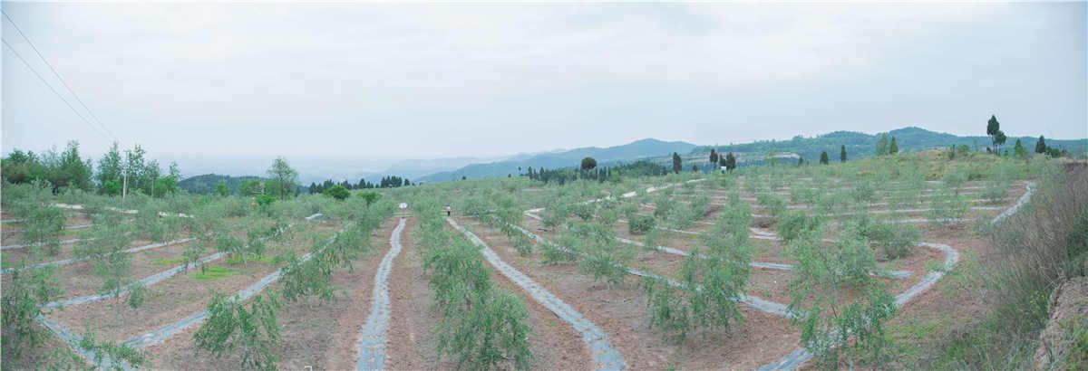 南国花园基地橄榄花开